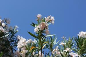 Oleandern sträcker sig upp mot murvielsk himmel