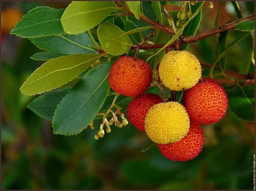 Skönheten - Arbousier med vackra, ätbara frukter