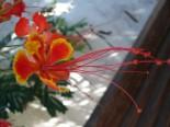Caesalpina Flamboyant