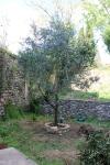 april 2012 - olivträdet har bytt plats och vi håller tummarna
