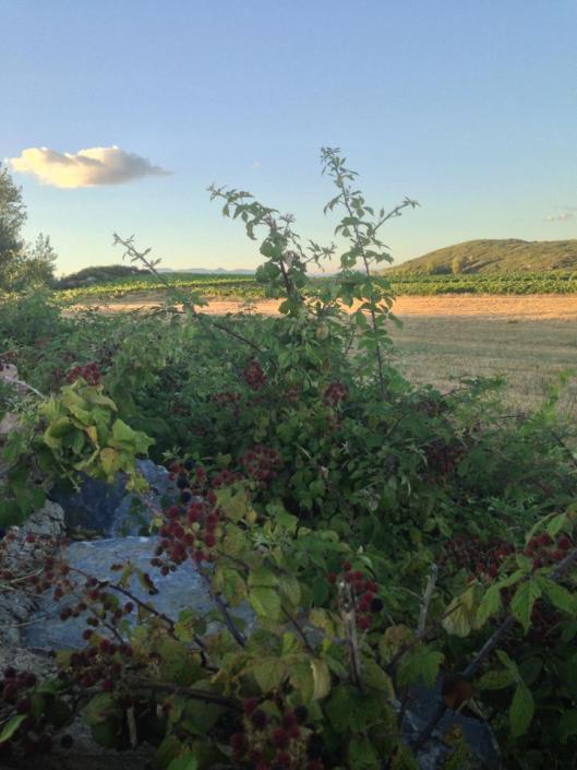 Solen går ner över vinfält och björnbär