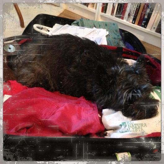 hund i väska