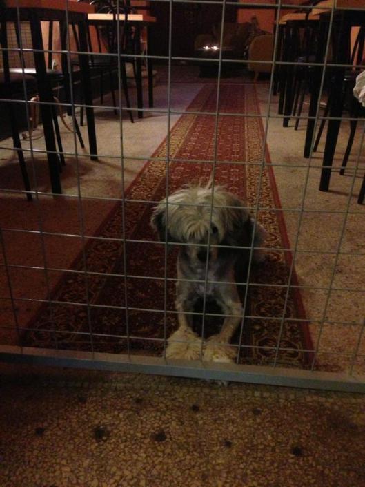 Mowgli - eller är det kanske Baloo - tittar längtansfullt på middagsgästerna på Chez Amis