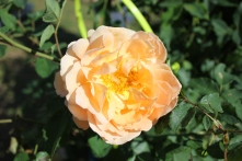 fantastiska ros - St Adrien