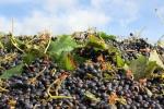 Det blir ett antal ton druvor om dagen