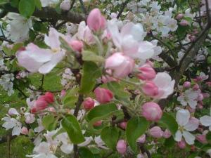 Äppelträdet blommade flitigt varje år
