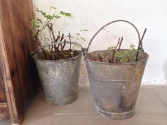 Vinplantor på tillväxt