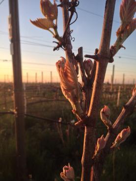 Vinrankorna i Languedoc har kommit aningens längre...