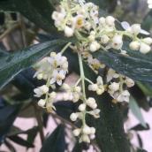 ...eller de små, små blommorna på olivträdet
