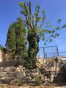 Det nedklippta trädet växer så det knakar