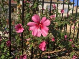 Det blommar i terrasseringarna...