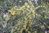 blommande lagerträd och