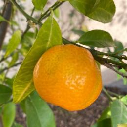... och en mandarin från nya citrusträdet!