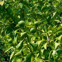 Ännu gröna blivande godsaker på tillväxt i juli 2020